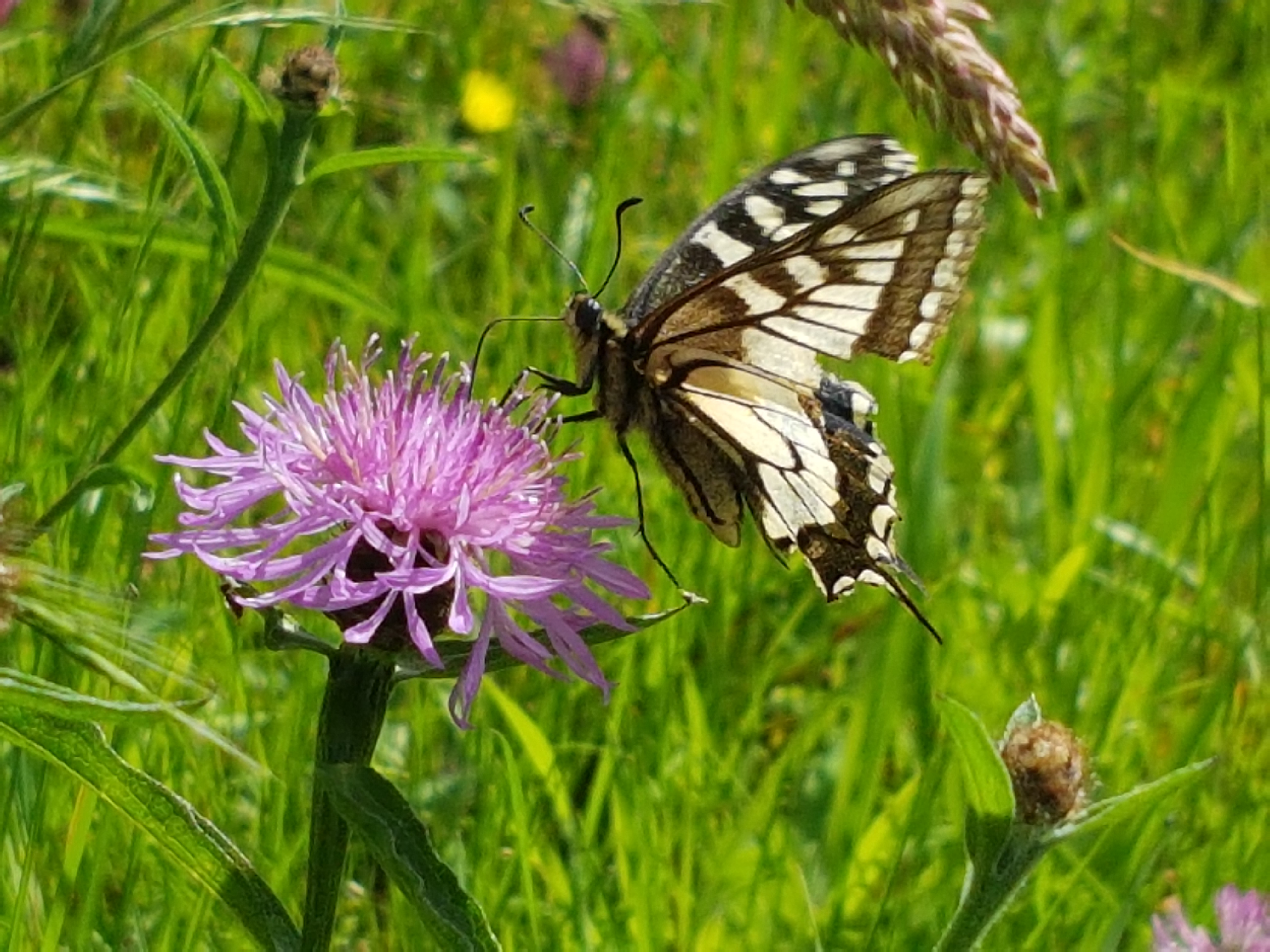 Un papillon (Machaon) en pleine nature